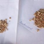 Po prawej stronie znajduje się ziarno pszenicy na Bacteriosolu, po prawej pszenica w której zastosowano nawożenie mineralne.