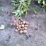 Ziemniaki- Bacteriosol