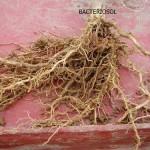 Systemu korzeniowy kukurydzy w której zastosowano Bacteriosol.